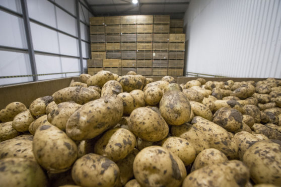 Scottish potato growers avoided the worst of last year's drought which affected yields in England and Wales.
