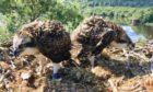 Osprey chicks PT4 and PT5