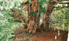 The Fortingall Yew.
