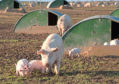 The risks are said to be especially high for outdoor pig producers who have rights of way passing through their land.