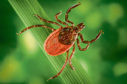 Blacklegged tick (Ixodes pacificus) on a leaf, carrier of the Lyme disease, 2005. Image courtesy Centers for Disease Control (CDC) / James Gathany, William L. Nicholson. (Photo by Smith Collection/Gado/Getty Images)