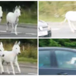 VIDEO: Footage shows runaway donkeys causing traffic chaos on A90 between Perth and Dundee