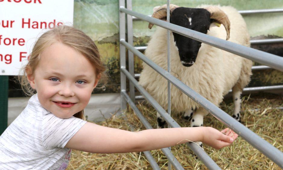 Sarah Petrie (6) from Kirkcaldy feeding the sheep.