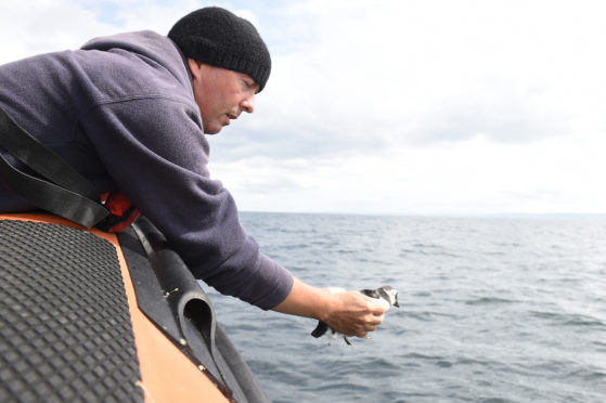 A puffling is released near the Isle of May.