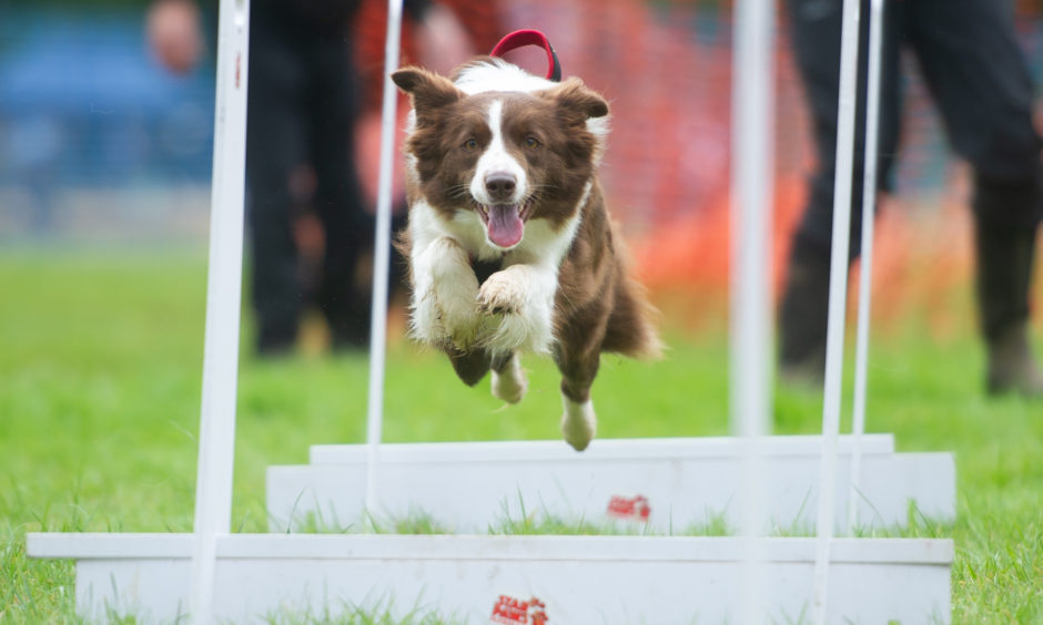 Star Paws Flyball start their demonstration with a competitive race - 'Finn' leaps through the course, All pictures by Kim Cessford / DCT Media
