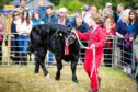 Ruby Simpson (12)  Alyth, reared the champion from a calf.