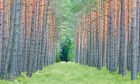 Scots Pine.