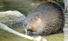 Native to Scotland, beavers help create biodiversity.