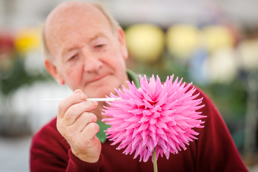 Rab Ritchie from Kettlebridge setting up Dahlia blooms at Dundee Flower and Food Festival.