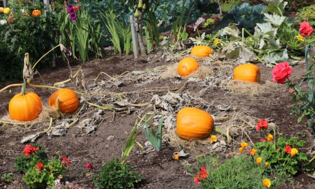 Pumpkins ripening up in the hot sun