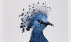 Victoria crowned pigeon, Goura victoria, Vulnerable, by Sean Dooley.