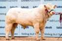 Charolais bull Goldies Oasis sold for the top price of 23,000gns.