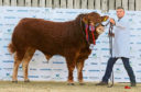Just champion: Limousin bull calf Westpit Orlando, from A&J Gammie of Laurencekirk