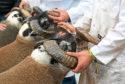Blackface sheep during judging at the Royal Highland Show.