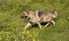 A German shepherd dog (stock image).