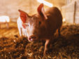 The National Pig Association has outlined its concerns to Channel 4.